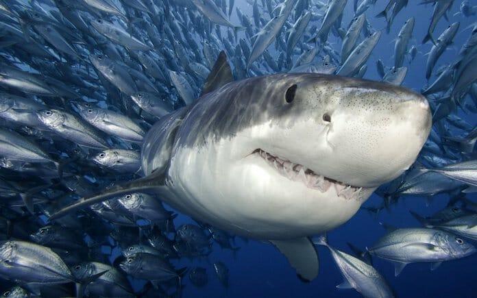 köpek balıkları durursa batarlar